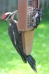 Woodpeckers (Moschell) Tags: 2017 backyard downey dumbluck in local may moschell nature pileated spring suet wildlife woodpecker
