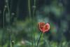 All Alone (Majime-SPN) Tags: flower wildflower nature natur naturephotography flowerviewing flowers flowersofflickr flowerphotography green red macro bokeh sigma sigmalens sigma70300mmmacrolens sigma70300mm 70300mm beautiful stunning kawasaki takatsuku chitose kanagawa japan japanese nikoncamera nikon nikond5500 dslr d5500 ニコンdslr ニコンd5500 ニコン シグマ シグマレンズ ニコンカメラ 川崎 神奈川 千年 高津区 自然 花 赤い 緑 日本 日本の春 日本の花 春 春の花
