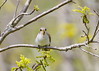 _53F6613 Yellow-billed Cuckoo (~ Michaela Sagatova ~) Tags: yellowbilledcuckoo birdphotography canonphotography michaelasagatova
