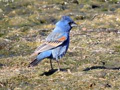 Blue Grosbeak (David Bygott) Tags: usa arizona ruby bird