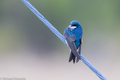 Tree Swallow (Richard Edwards Photography) Tags: red