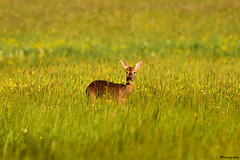 hey... (vreny_) Tags: reh nature tier animal animaux landschaft landscape eating green gras natur austria österreich d750 outdoor natureshot nikon deer brown braun looking wildlife