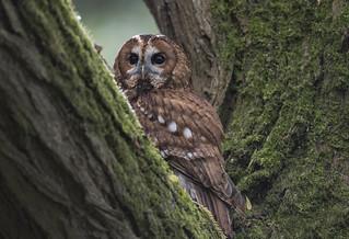 Tawny-owl_4241