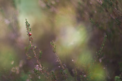 Kevään merkkejä (JuNu_photography) Tags: leppäkerttu 5d3 5d mark iii 85mm 12 f12 ladybird nature spring bokehlicious bokeh ultimate