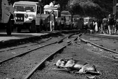 I don't give a f**k #2 (hydRometra) Tags: dogs buddhism buddismo cani toytrain india westbengal binari streetphotography fotodistrada railroadtracks bn bw darjeeling