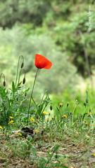 Papoula (✿ Graça Vargas ✿) Tags: papoula poppy red flower graçavargas ©2017graçavargasallrightsreserved papaverorientale papouladooriente 15908310517 athens greece