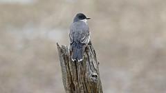 Tyran tritri_070A8083 (d.jauvin) Tags: tyran québec tyrantritri easternkingbird tyrannustyrannus