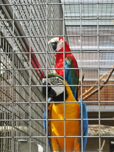 Bošovice - papouščí zoo -  Ara zelenokřídlý a Ara ararauna