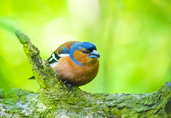 The Chaffinch (JasPrS) Tags: nature fauna wings feathers chaffinch flier colors beaks woods countryside avian nikon nikkor