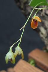 Pabstiella sp var. IBI/SP (Micro-orquídeas Roberto Martins) Tags: pabstiella sp var ibisp pleurothallidenae pleurothallis epifitas micro microorquídeas mini orquídeas exposição orquidáceas galeria robertomicroorquideas robertoorquideas robertomicros permuta venda de coleção