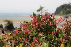Siletz Bay Park, Lincoln City, Oregon (nikname) Tags: siletzbaypark lincolncity lincolncityoregon flowers floweringplants oregonwildflowers wildflowers oregonbeaches westcoastbeaches pinkwildflowers salal salalflowers salalbush medicinalplants usmedicinalplants oregonmedicinalplants