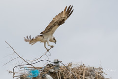 May 27, 2017 - An Osprey builds its nest in Adams County. (Tony's Takes)