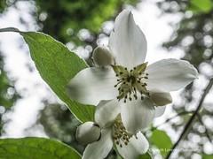 Clyne Gardens 2017 06 01 #55 (Gareth Lovering Photography 3,000,594 views.) Tags: clyne clyneinbloom botanical gardens flowers macro swansea olympus omdem10ii 30mm 30mmmacro garethloveringphotography