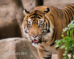 DSC04220 (montusurf) Tags: cameron park zoo waco texas predator stare stripes