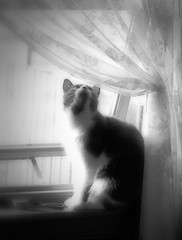 Morning Glory (LupaImages) Tags: cat feline face window light morning lace curtain animal pet
