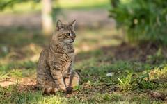 cat (18) (Vlado Ferenčić) Tags: animals animalplanet cats catsdogs vladoferencic podravina hrvatska vladimirferencic nikond600 novovirje sigma15028macro