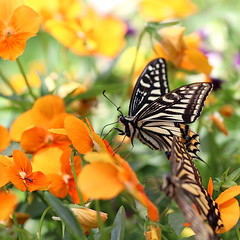 Swallowtail Butterfly (Johnnie Shene Photography(Thanks, 2Million+ Views)) Tags: swallowtailbutterfly butterfly swallowtail oldworldswallowtail papiliomachaon papilio lepidoptera nature natural wild wildlife livingorganism tranquility adjustment fulllength depthoffield bokeh interesting awe wonder perching resting korea asia animal insect bug photography square outdoor colourimage fragility freshness nopeople foregroundfocus flower plant leaf feeler wings limbs shape feeding behaviour watching stationary still sideview highangle peace calm daylight day spring macro closeup magnified canon eos80d 80d tamron 90mm f28 11 lens 호랑나비 나비 곤충 접사 매크로 산호랑나비