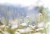die letzten Tage meiner Margeriten (anita.niza) Tags: margeriten flowers wildflowers wildblumen sommer summer été