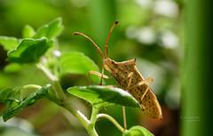SYS_2519 (Daegeon Shin) Tags: nikon d750 nikkor 55mmf28 animal insect insecto bug bicho dof bokeh nature 니콘 니콘렌즈 동물 곤충 벌레 노린재 심도 보케 빛망울
