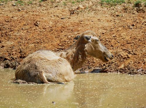 elk in the mud 1