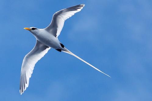 tailed white whitetailed pelagic bird tropicbird