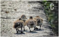 happy family..... (Yaoluca) Tags: cute love lovely family milan navigli life animals duck