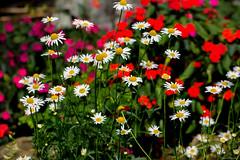 Let happiness radiate (kumherath) Tags: kumariherathphotography canon5dmark3 flowers colorful colors flora garden flower 7dwf