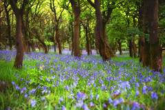 At Last ........ (Missy Jussy) Tags: bluebells bluebellwood woodland wood sunlight trees flowers springtime blossom canon canon5dmarkll 50mm ef50mmf18ll canon50mm landscape lancashire piethornevalley rochdale northwest england