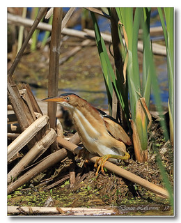 103A3959-DL   Petit blongios / Least Bittern.