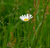 flower beauty... (vreny_) Tags: flower beauty green nature natureshot austria wiese gras blume blumen grün natur outdoor nikon d750 margeriten
