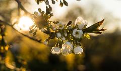 Sweet cherry blossom in May (dan.kristiansen) Tags: sweetcherry cherry prunus moreller morell tre tree blossom blomst sun sol sunset evening kveld solnedgang lowsun