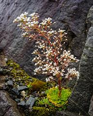 Saxifraga cotyledon - the pyramidal saxifrage,