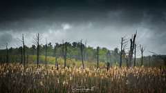 Wetland Snags (Simmie | Reagor - Simmulated.com) Tags: 2017 connecticut connecticutphotographer goshen landscape landscapephotography marsh may nature naturephotography newengland outdoors spring stormy unitedstates wetland cloudy ctvisit digital https500pxcomsreagor httpswwwinstagramcomsimmulated wwwsimmulatedcom