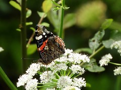 "Red Admiral • <a style=""font-size:0.8em;"" href=""http://www.flickr.com/photos/144883965@N07/34450294264/"" target=""_blank"">View on Flickr</a>"