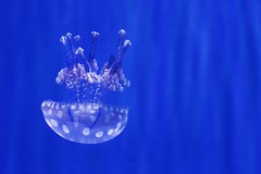 Jelly Fish droppping (Kylo.Xue) Tags: blue jellyfish aquarium color colorful