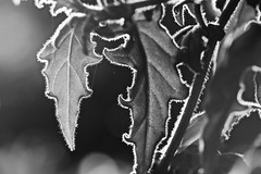 Sun Sun Sun here it comes.... (setoboonhong ( On and Off )) Tags: nature foliage sun backlighting rim lighting hairs veins hanging basket close up depth field bokeh blur monochrome bw song the beatles here comes 1969