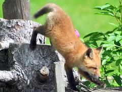 DSC_0805 (rachidH) Tags: fox renard vulpes foxcub renardeau redfox renardroux vulpesvulpes backyard frontyard wildlife sparta newjersey nj rachidh nature