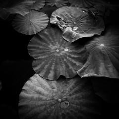 leaves (s_inagaki) Tags: leaves snap tokyo japan pond