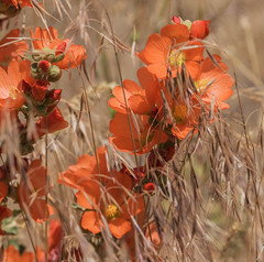 06172017 scarlet mallow (Angie Vogel Nature Photography) Tags: flowers wildflowers scarletmallow nature paintedhills oregon
