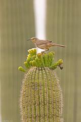 curve-billed thrasher sonoran desert arizona (lee barlow) Tags: d7200 arizona birdsofarizona birdsofnorthamerica curvebilledthrasher leebarlow nikon sonorandesert toxostomacurvirostre