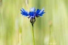 Cornflower - Zyane (pego28) Tags: 2017 dechsendorf erlangen natur germany zyane cornflower kornblume blume flower nature frühling spring