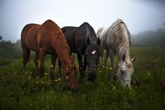 Nashalina Schrape_Hoof Thrower-7275 (nashalina schrape) Tags: horse horses equine thoroughbreed grace gina diverstiy wildflowers fog mane grass ears