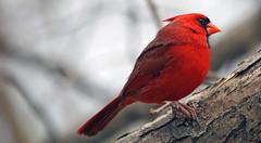Cardinal (bnbalance) Tags: cardinal male redbird new inspiring nature art red vibrantcolor