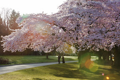 cherry blossoms vancouver (yuanxizhou) Tags: garden cherrytrees flowerphotography flower flare sunrise city colors pink light morning park blossoms cherry