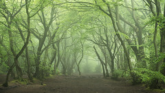 Tangled (Damian_Ward) Tags: ©damianward damianward beech trees chilterns chilternhills thechilterns fog mist buckinghamshire wood forest woodland