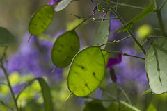 Backlit Money Plant (brucetopher) Tags: moneyplant honesty seed pod seedpod green macro closeup close flat circle seeds light lighting backlit backligh backlight back lightfrombehind flower garden nature weed prettyweed pretty beauty catchycolors