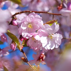 Spring blooming (Sergei Zinovjev) Tags: flower blossom blooming spring nature flora beauty colorful colors nice pentax pentaxk5 season closeup cherry thebestofworldpicture flickrcentral pentaxawards funflickrsoftheunitednations