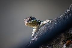 Brazilian Lizard (Angelo Petrozza) Tags: brazilian lizard lucertola brasile brazil sudamerica macro rettile reptil focus sfocato angelopetrozza 55300f458 pentaxk70 cristo redentor