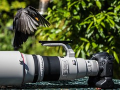 Incoming (Steve Cooke-SRAviation) Tags: sraviation 500mm 7d2 stevecooke nature canon birds 5d4 lightningll 100400 robin wildlife blackbird