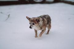 Snow BAHBAH (Jake Arciniega) Tags: pomchi chihuahua portland canon7dmarkii vscofilm
